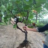 葡萄树苗 葡萄苗 爬藤果树苗盆栽地栽苗当年结果南方北方种植