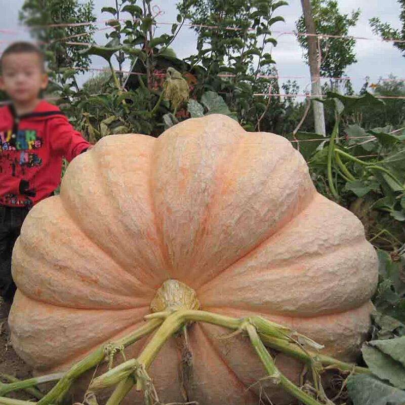 特种蔬菜超级大南瓜种子 巨型南瓜种子 超级大南瓜籽 8粒/袋